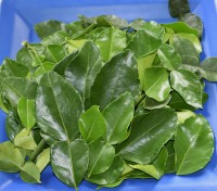 Fresh Organic Kaffir Lime Leaves