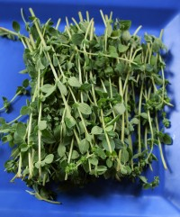 Fresh Organic Oregano