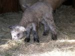 Lambs-Learning to graze