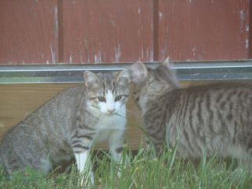 Barn Kitties-Looking for trouble