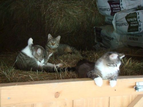 barn kitties-Just hanging out in the hay