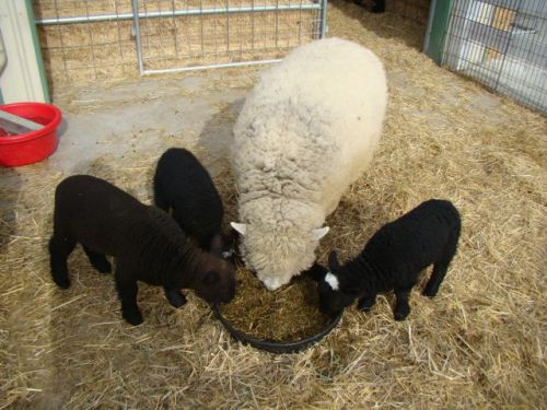 lambs-Chow time