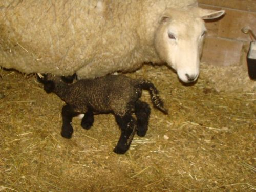 Eve's lambs day 1