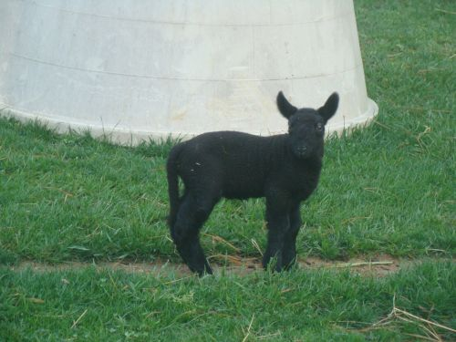 Miniature cheviot lamb