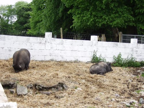 Irish Pigs