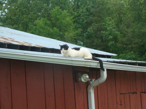 Jazzy - cat on a hot tin roof