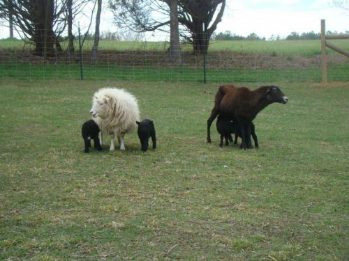 moms and lambs