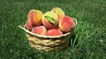 They will be the best peaches that you have ever had! Juicy and delicious!