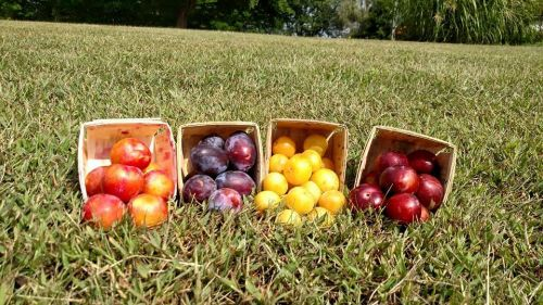 Want some plums? We have several varieties!