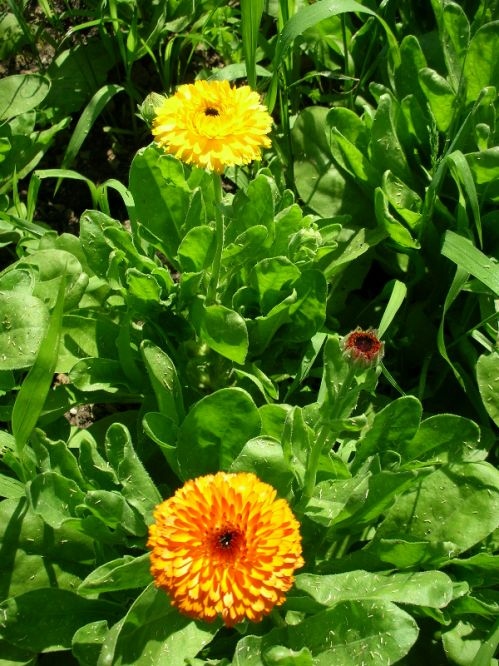 Calendula, Mixed Yellow and Orange