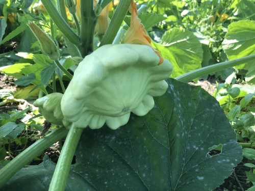 Patty pan squash variety