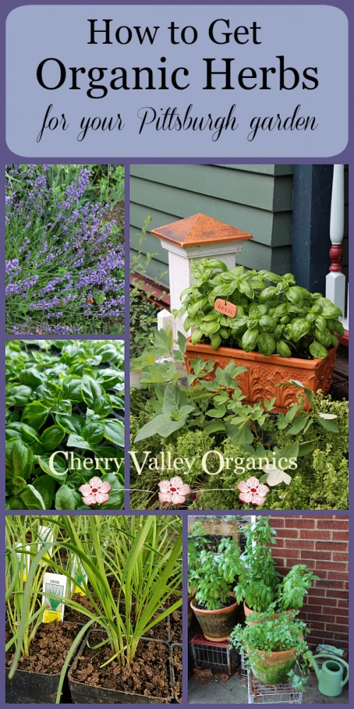 Why should you plant organic herbs in your garden?