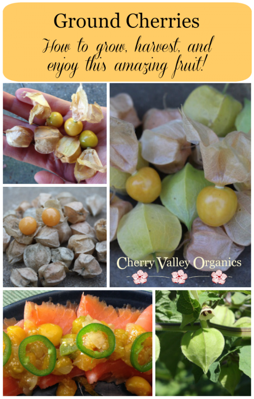 What are ground cherries and how to grow, harvest, and enjoy them.
