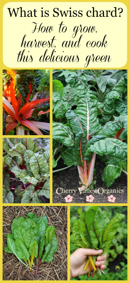 What is Swiss chard? How to grow, harvest, and cook this delicious green.
