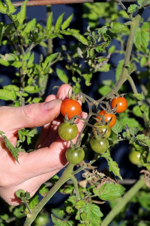 Harvesting cherry tomatoes by hand