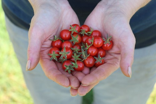 Cherry tomato growing and harvesting tips