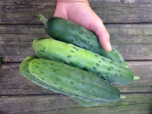 Harvested cucumbers
