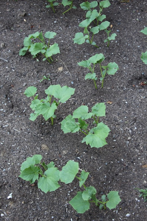 Young cucumber plants on a farm.