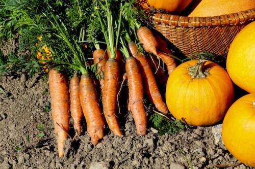fall succession carrot crop