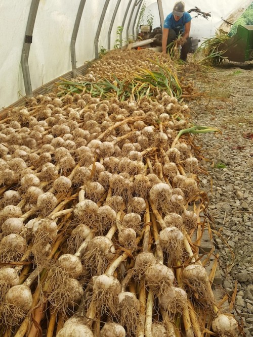 Curing organic garlic by laying out to dry