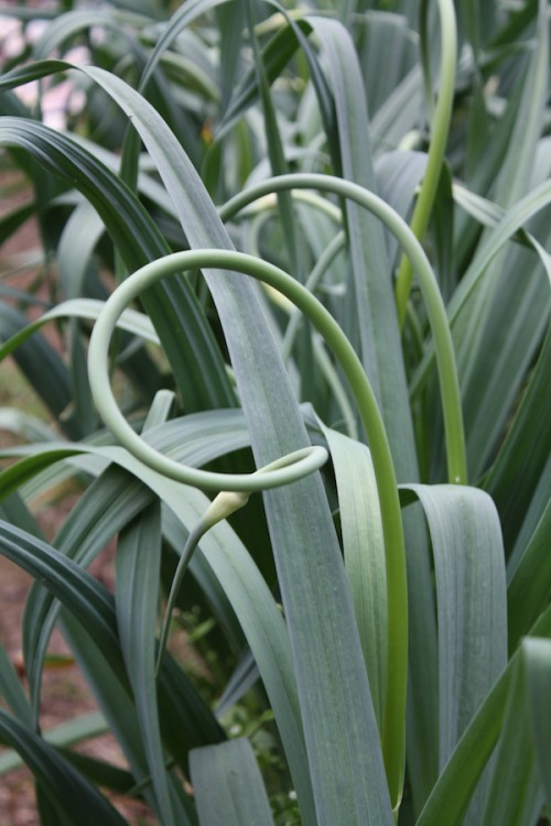 growing garlic scapes