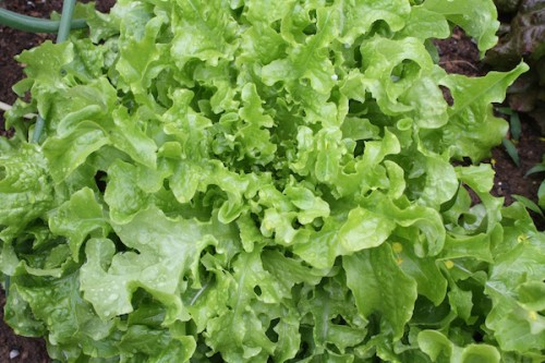 Gourmet lettuce varieties for your garden