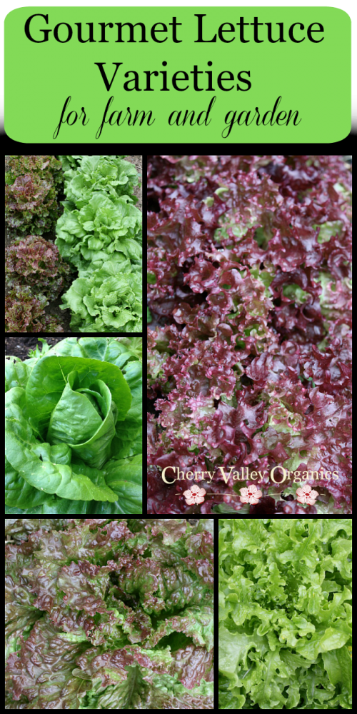 Gourmet Lettuce Varieties for Farm and Garden: Our Top Picks
