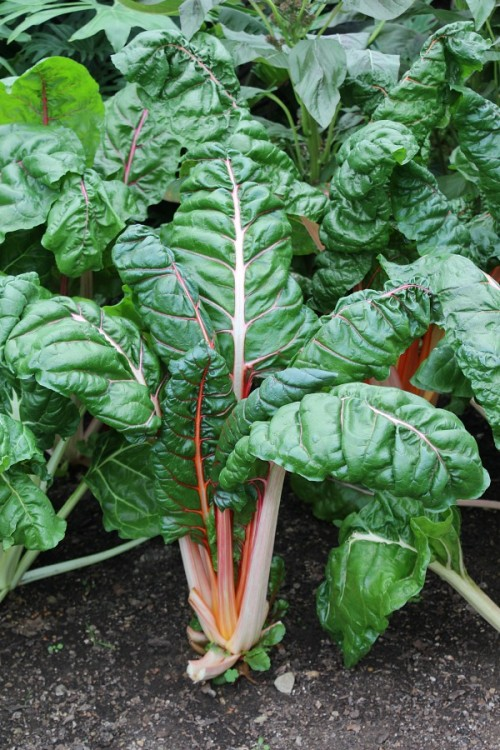 What is Swiss chard? It's a delicious and beautiful garden green.