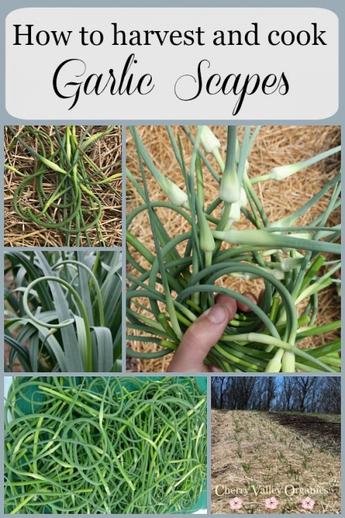 How to harvest and cook garlic scapes
