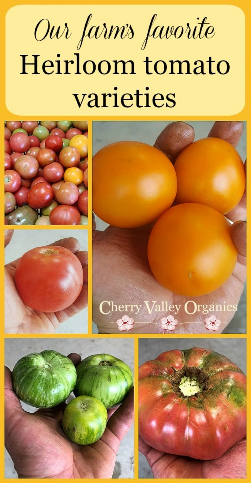 The best heirloom tomato varieties for farm and garden