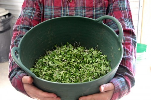 Harvesting microgreens for sale