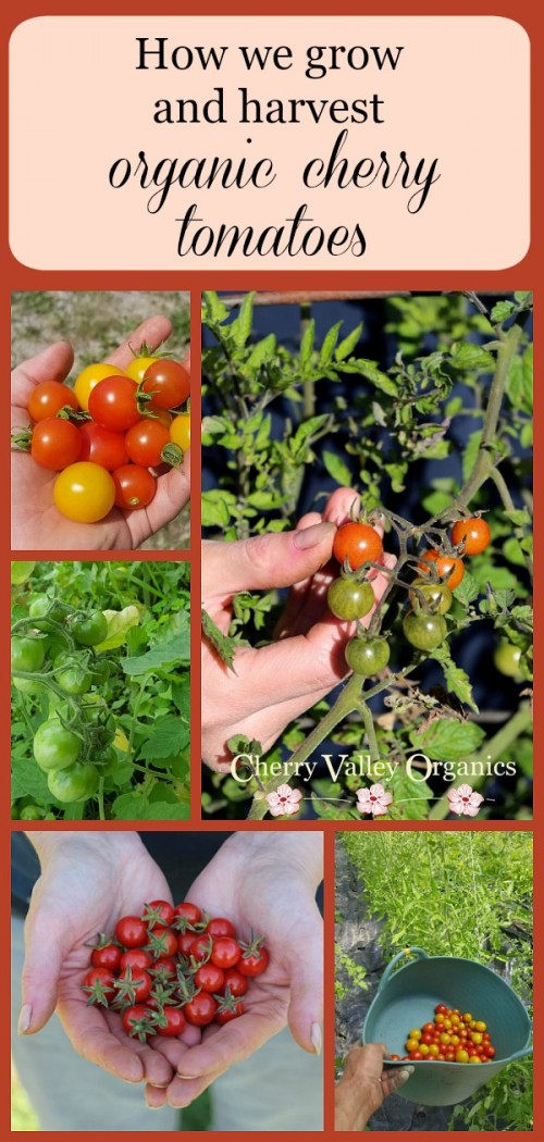 How we grow and harvest our organic cherry tomatoes