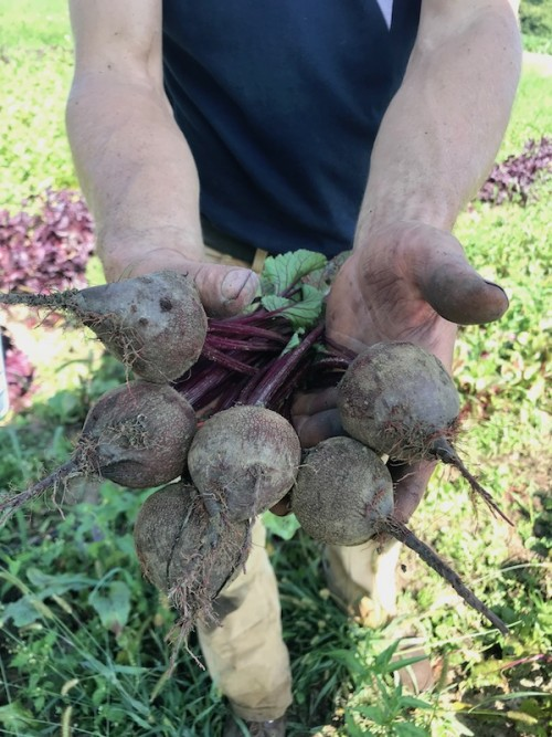 Harvested Beets from Cherry Valley Organics Farm