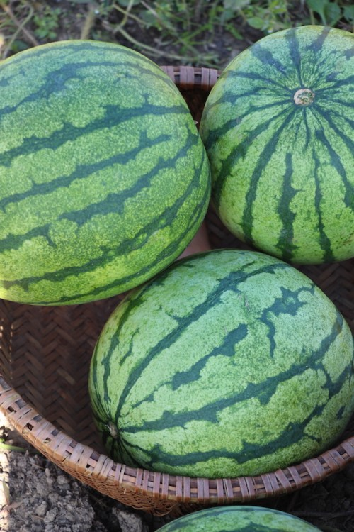 summer watermelon crop