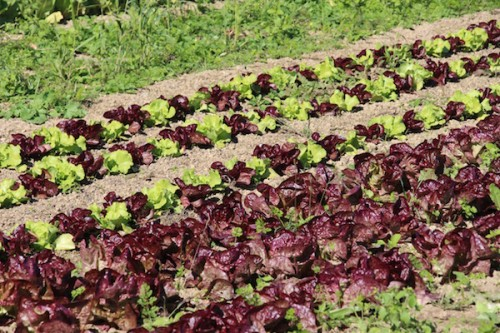 baby leaf lettuce varieties for farm and garden