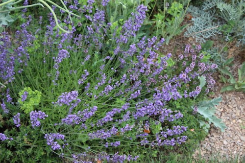 Organic lavender plants for sale