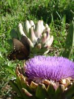 Artichokes become the most beautiful flowers!