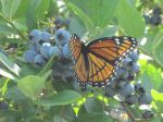 The Monarchs love blueberries too