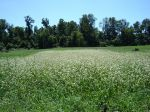 Field of buckwheat attracts thousands of bees and other beneficial insects