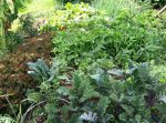 Bio intensive companion planting in a hugelkulture bed