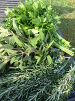 Top quality pineapple sage, parsley, and Tuscan rosemary