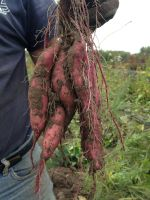 Japanese Sweet potatoes just out of the ground