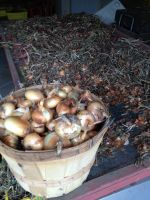 Cippolini onions curing for storage