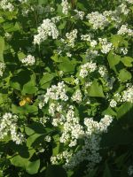 Buckwheat flowers house thousands of beneficial insects