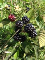 Blackberries ready for harvest