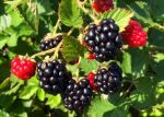 Fall blackberries