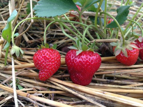 New planting of everbearing strawberries