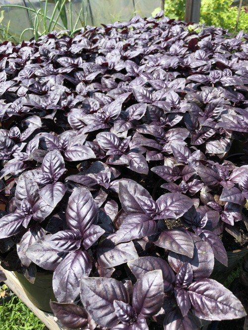 Purple basil plants on the way to market