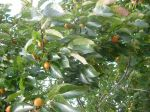 FALL PERSIMMON CROP