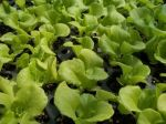 Lettuce starts in the greenhouse.